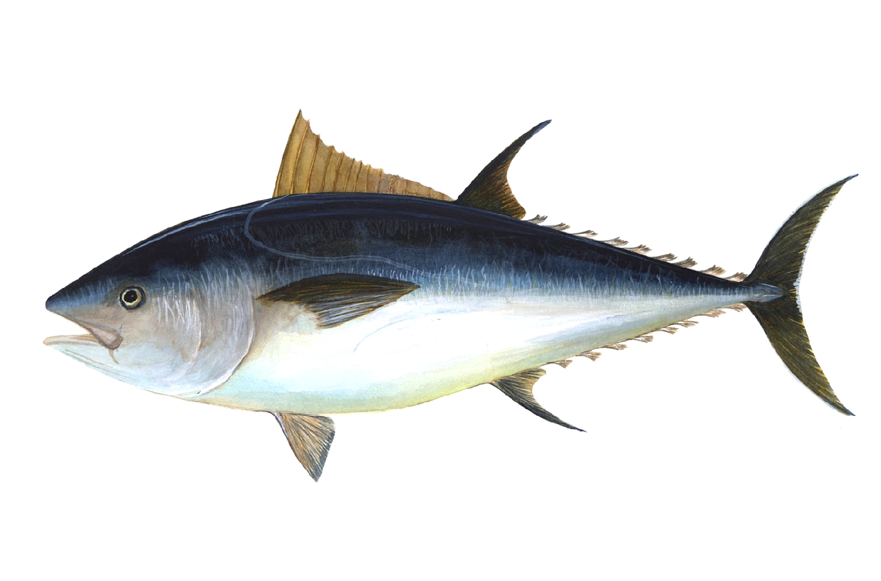 Blåfenad tonfisk – en rödlistad art