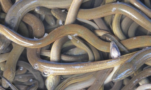 Ålen – den hotade arten